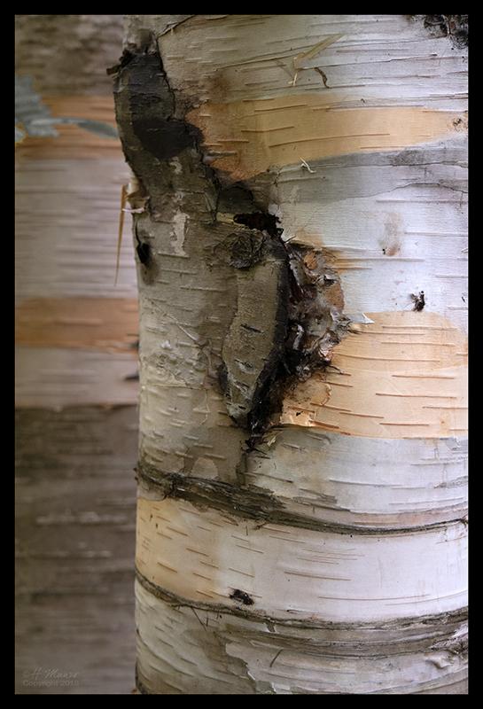 birch-bark-1350573-blog