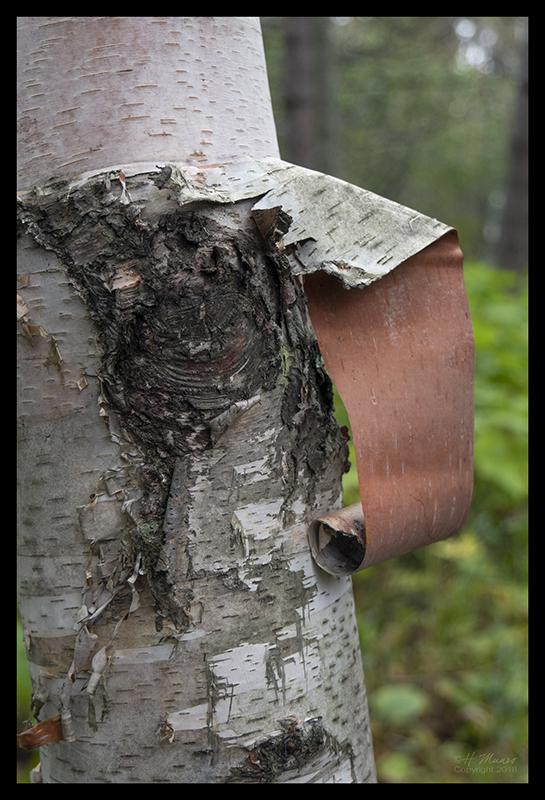 birch-bark-1350667-blog