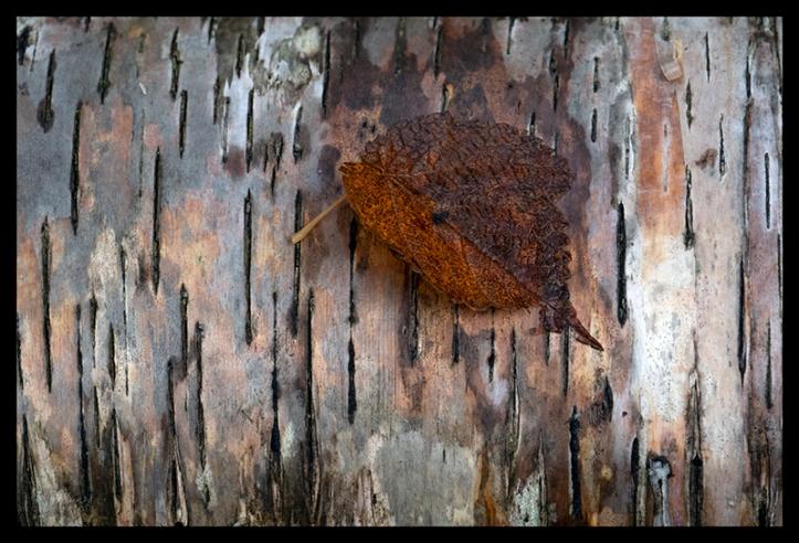 leaf-on-birch-1350301-blog